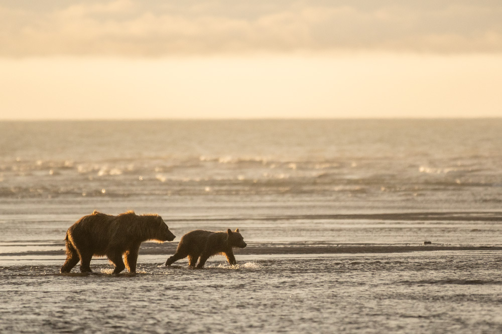 Grizzly Bär am Strand im Lake Clark Nationalpark