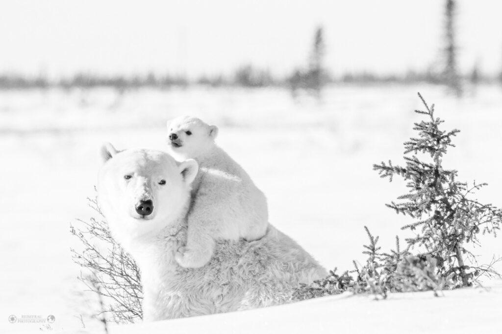 Blog Reisebericht Eisbären Babies