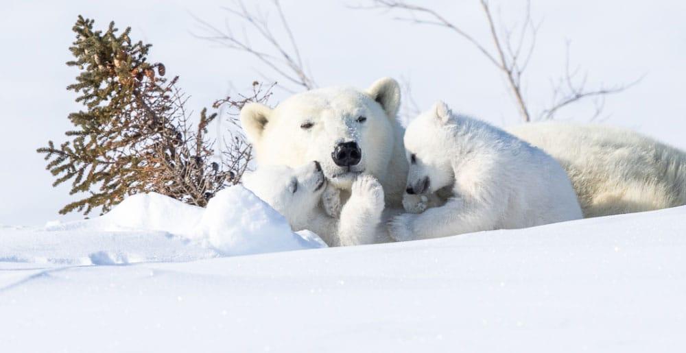 Banner Blog Reisebericht Eisbären