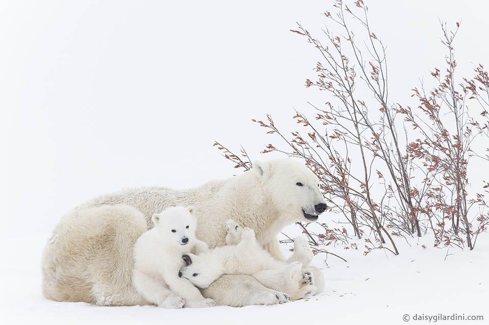 Foto-Safari Eisbären Babies