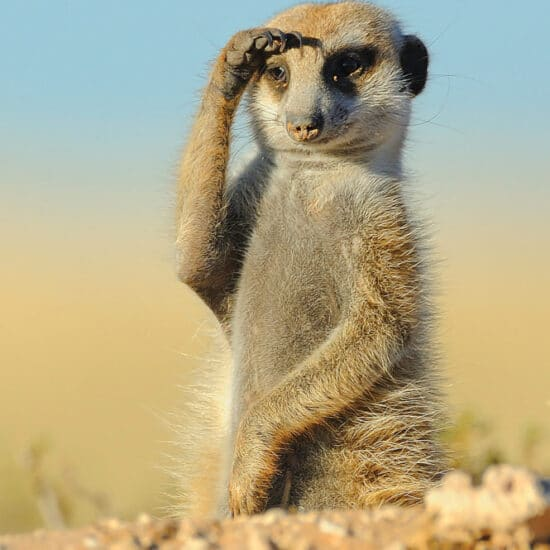 Fotoreise Katzen der Kalahari