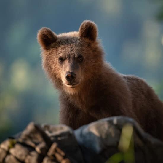 Fotoreise Bären Slowenien